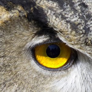 TM2962 yellow owl eye detail