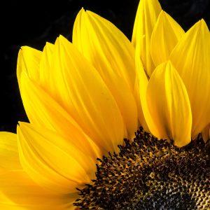 TM2973 yellow sunflower head