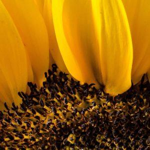 TM2974 yellow sunflower head detail