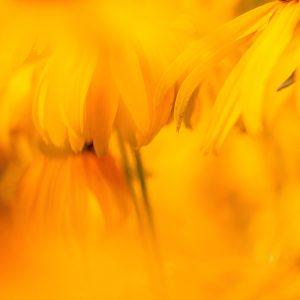 TM2979 yellow flower petals
