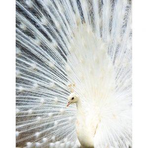 SG2744 peacock white bird