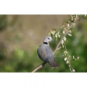 SG3245 african dove tree